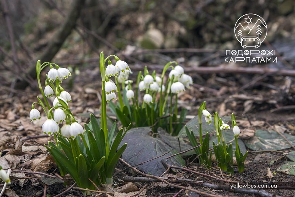 Первоцветы Закарпатья.<br> Релакс в начале марта.<br>