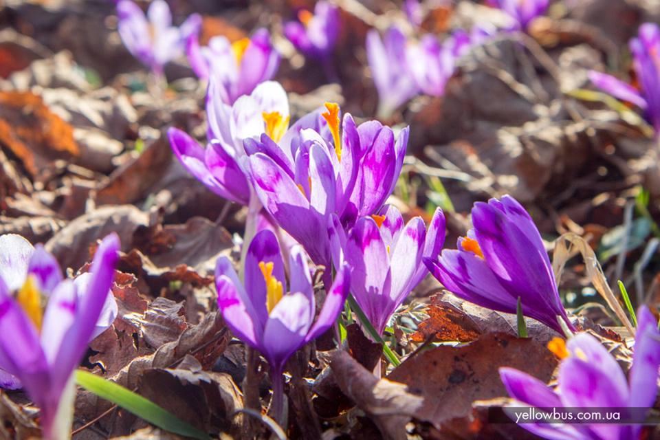 Первоцветы Закарпатья.<br> Блиц-Тур в марте.<br>
